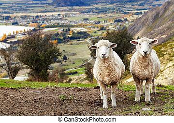 Grazing sheep, mount Roys, Wanaka, New Zealand