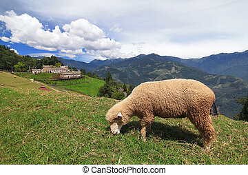 Grazing sheep on a meadow