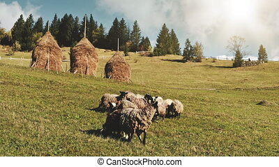 Grazing sheep on field at sun mountain hill. Summer nature landscape. Biodiversity. Fir forest on top. Farm animals feeding grass at haystack. Rural vacation. Countryside Alps mounts, Italy, Europe