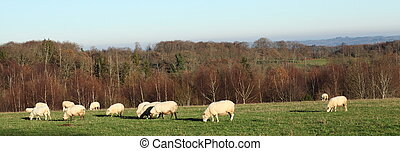 Grazing Sheep Panorama Banner