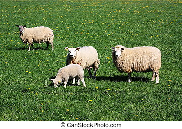Sheep - three ewes and a lamb in thick woolly coats - grazing in a lush pasture and looking at the camera.