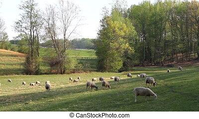 Grazing Sheep - Sheep graze on grass in a meadow.