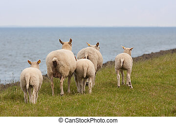 Grazing sheep with her lambs in springtime