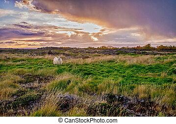 Grazing sheeps on a field
