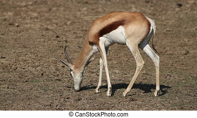 Grazing springbok antelope - A springbok antelope...