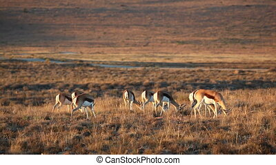 Grazing springbok antelopes