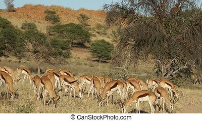 Grazing springbok antelopes - Herd of springbok antelope...