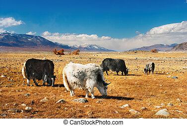 Grazing yaks in mongolian desert