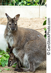 grazzing, red-necked, wallaby
