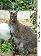 grazzing, red-necked, wallaby, (macropus, rufogriseus)