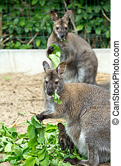 grazzing,  wallaby,  red-necked