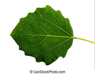 Grean  leaf  aspen on a white background isolated with clipping path.  Nature.