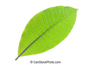 Grean leaf of plumeria isolated on white background