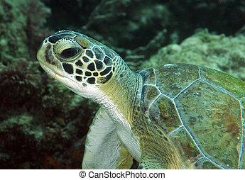 Grean Sea Turtle Resting near a coral reef