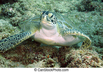 Grean Sea Turtle Resting on a coral reef