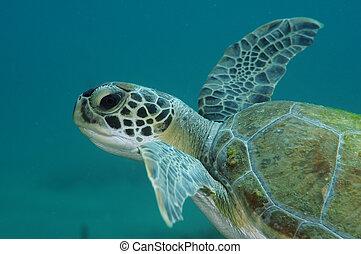 Grean Sea Turtle swimming near a coral reef