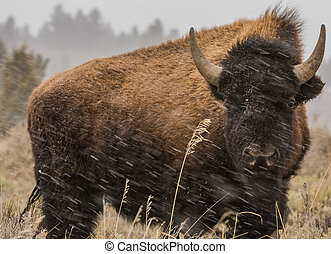 Great American Bison 8