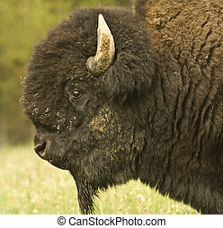 Great American Bison