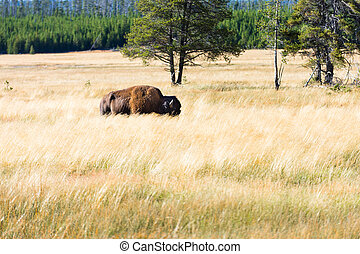 Great american bison or buffalo