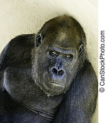 Gorilla looking at you