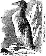 Great Auk (Alca impennis), vintage engraving.