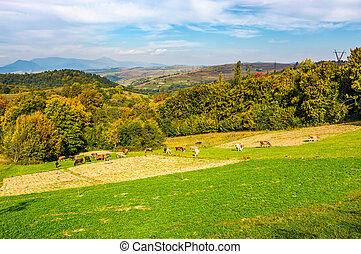 great autumnal rural area in mountains. Cows grazing on...