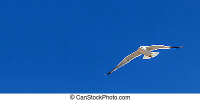 Great black backed gull in flight over the sea