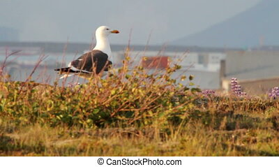 Great black backed gull in Iceland