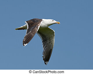 Great black-backed gull (Larus marinus) - Great black-backed...