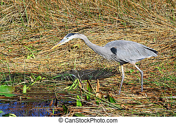 Great Blue Heron  -