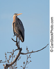 Great Blue Heron 1904169267 - Great Blue Heron perched high ...