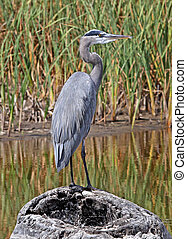 Great Blue Heron 2 - Great Blue Heron (Ardea herodias) in a...