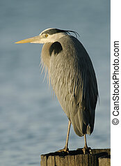 Great Blue Heron - A great blue heron (ardea herodias...