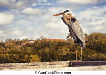 Great Blue Heron - A large Heron perched on a dock near a...