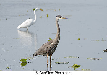 Great Blue Heron and Great Egret standing together, fishing in a marsh