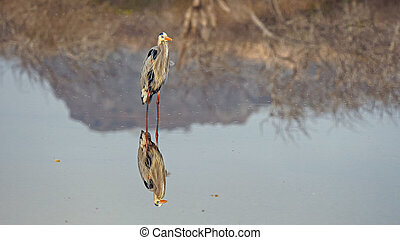 great blue heron and reflection at isla floreana in the galalagos islands