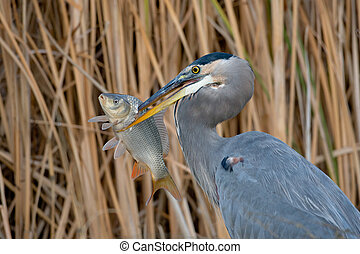 Adult great blue heron with large fish against a background of reeds.