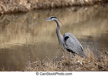 Great-blue heron, Ardea herodias