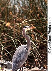 Great blue heron, Ardea herodias, bird