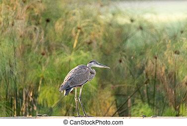 Great blue heron Ardea herodias bird perches on a fence
