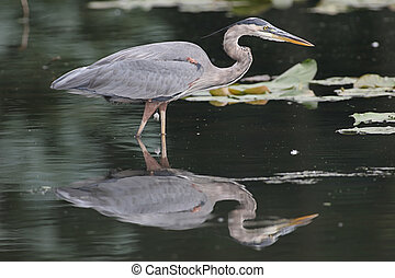 Great Blue Heron (Ardea Herodias) fishing in a pond with a reflection