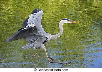 Great Blue Heron (Ardea herodias) flying
