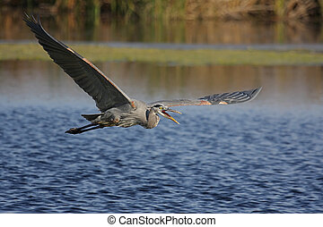 Great Blue Heron (Ardea Herodias) in flight in the Florida Everglades