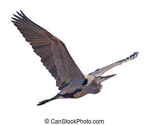 Heron - Great Blue Heron (Ardea herodias) in flight with a...