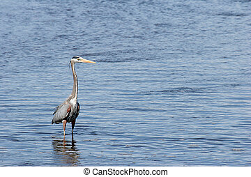 great blue heron - ardea herodias - in yellowstone national...