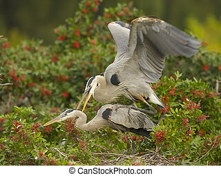 Great Blue Heron, Ardea herodias, mating in Brazilian Pepper bushes at Venice Rookery