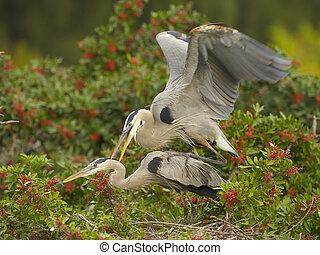 Great Blue Heron, Ardea herodias, mating in Brazilian Pepper...