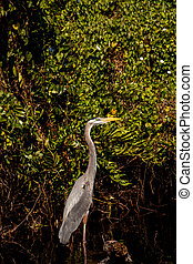 Great Blue Heron Ardea herodias on the roots of a mangrove tree
