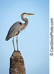 Great Blue Heron (Ardea herodias) Perched on Top of a Palm Tree Stump - Viera Wetlands, Florida