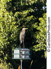 Great blue heron Ardea herodias perches on top of a birdhouse